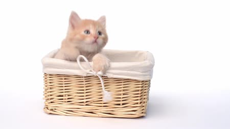evcil hayvanlar : Playful british kitten in basket over white background Stok Video