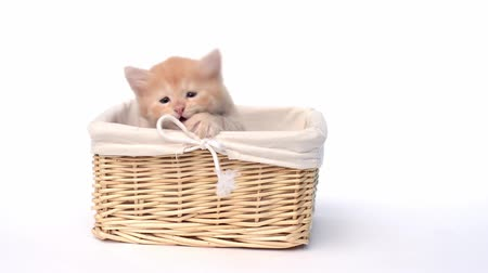 british cat : Playful british kitten in basket over white background Stock Footage