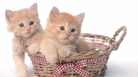 british cat : Two kittens in basket over white background