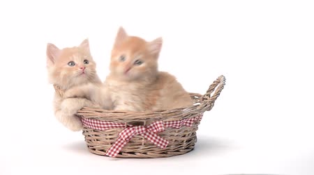 kotě : Two kittens in basket over white background