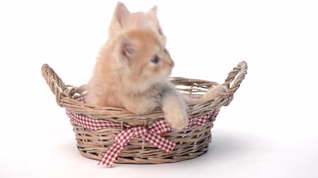 pussy : Two kittens in basket over white background