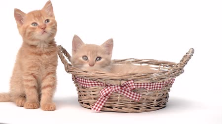 милый : Two kittens in basket over white background