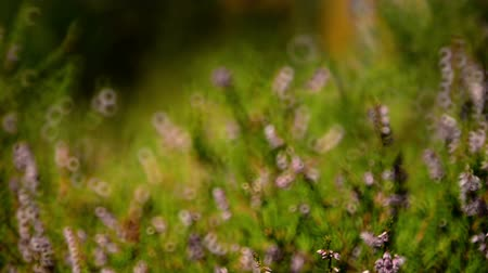 perennials : Blurred background video of heather shrub fluttering on breeze Stock Footage