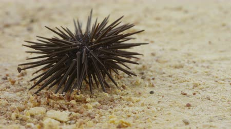keskin : Slate-pencil urchin - sea urchin on sand Stok Video