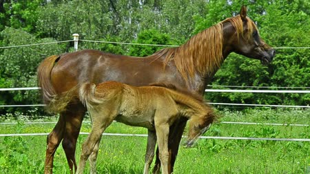 poník : Arabian horse mare and foal