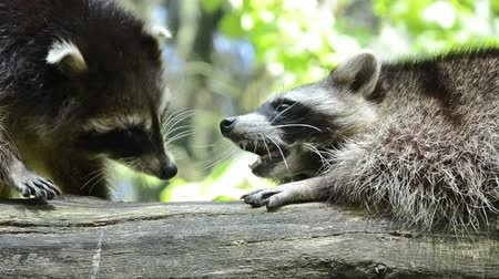 raccoon : two raccoon meeting at a trunk - with dispute