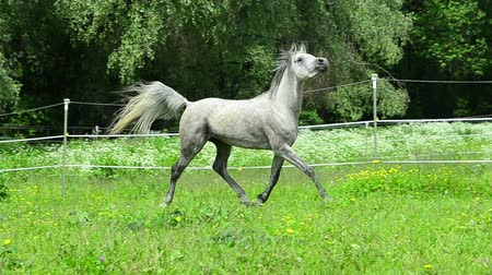 cavalinho : Asil Arabian stallion trotting elegant on fence