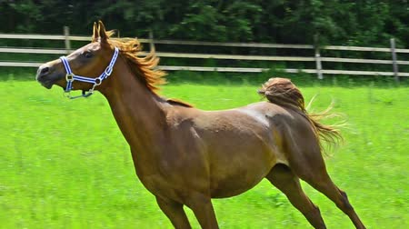 poník : Asil Arabian mare - two years old - trotting and galloping very proud on the pasture. She shows the very proud arabian attitude