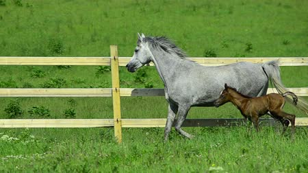 poník : grey Asil Arabian horse mare trotting and galloping on fence - in Slowmotion - with foal. The foal is 4 days old. Dostupné videozáznamy