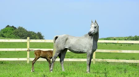 égua : grey Arabian horse mare and foal - 4 days old Vídeos