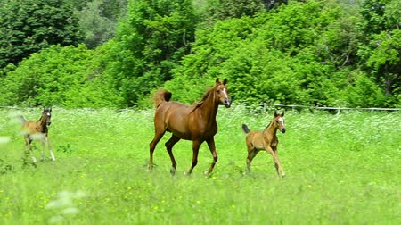 poník : Asil Arabian horse mares and foals trotting and galloping on pasture