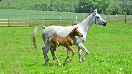 tutum : Asil Arabian horse mares and foals trotting and galloping on pasture