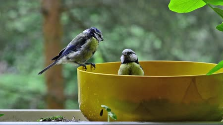 miska : blue titmouse founding seeds in a bowl on my balcony and open it or taking it away.