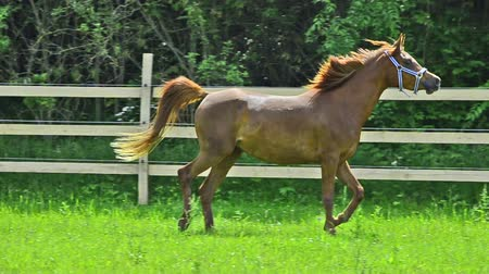 horse riding : Asil Arabian mare - two years old - trotting and galloping very proud on the pasture. She shows the very proud arabian attitude