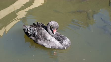 Black swan with Japanese Fancy crap or koi fish black color in pond at north of thailand, UHD 4K video with copy space