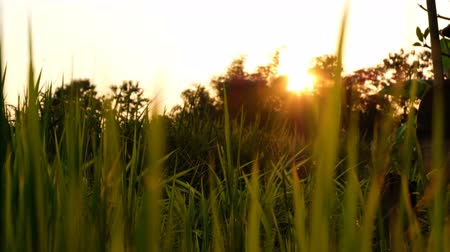 Silhouette Rice paddy field worms eye view landscape background in sunset time, at chiang mai thailand, UHD 4K video with copy space