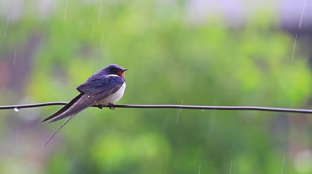 bird eye : swallow on the wire in the rain Stock Footage