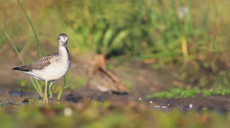greenshank : Common greenshank wanders in the morning the water Stock Footage