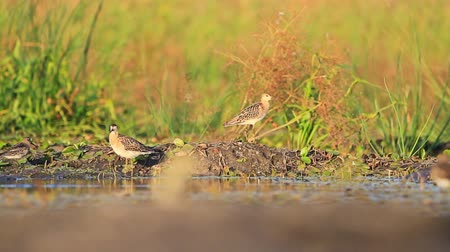 philomachus pugnax : Ruff flock cleans feathers at sunset