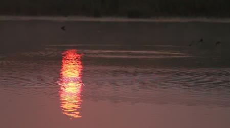foraging behavior : Swallows fly in foggy morning on the lake where the sun shows Stock Footage