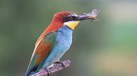 toucan : bee-eater caught Dragonfly and holds it in its beak Stock Footage