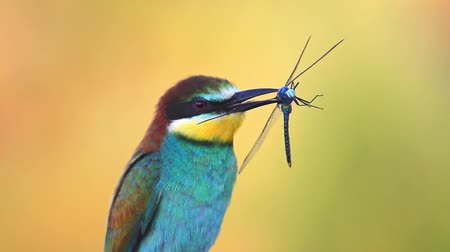 toucan : colored bird holds a blue dragonfly in the beak