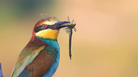 toucan : exotic bird holds a colorful dragonfly in the beak Stock Footage