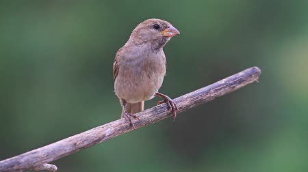 eat : sparrow sits on a dry branch and cleans the beak