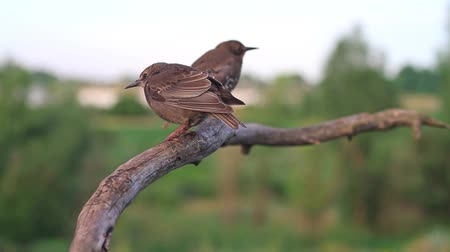 szpak : Two young starling sitting on a dry branch Wideo