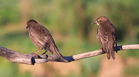 flexão : young starlings jumps on dry branch Stock Footage