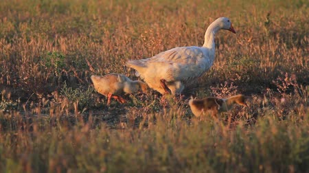 bird family : family of geese walking on the field