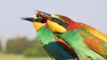 atthis : bee-eater eat bee slow motion