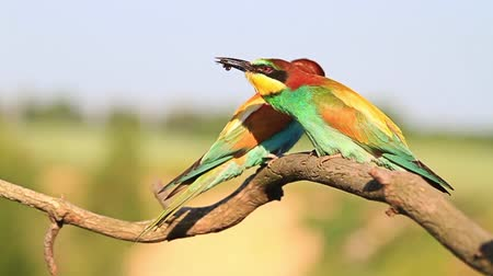 nó : exotic bird bee-eater insect juggles