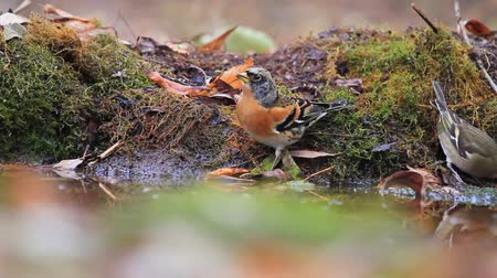 yaban hayatı : wild singing birds drink water in the autumn forest Stok Video