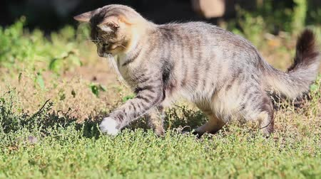 kotki : gray cat playing with a mouse in green grass