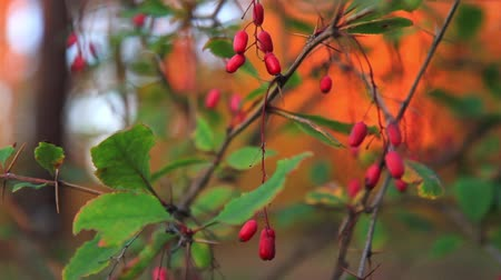 houba : red berries in the autumn forest at sunset