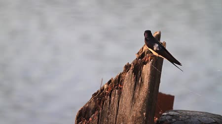 worms : Swallow sings on a wooden pole on the riverbank