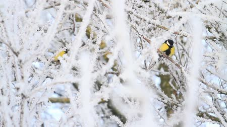 migratory birds : yellow birds sitting on the branches of white frost Stock Footage