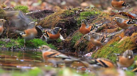 perching : flock of beautiful birds drinking water in the autumn forest
