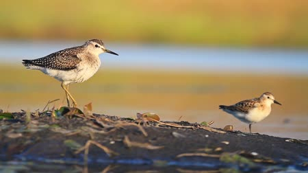 bird ecology : two waders standing on one leg near the water