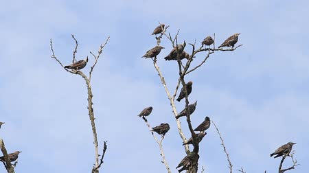 starling : flock of birds sit on the dry branches Stock Footage