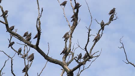 starling : flock of birds sitting on a branch and then flies away