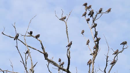sereg : flock of starlings sit on the dry branches