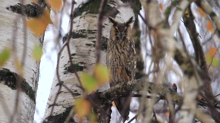 zsákmány : owl sits among the branches of an autumn snow