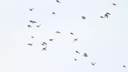 perching : goldfinches flying across the sky slow motion
