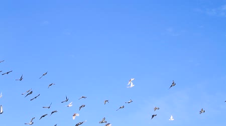 ara : huge flock of pigeons flying in the blue sky