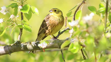 певчая птица : beautiful yellow bird sings a beautiful spring song