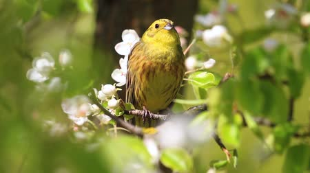 ave canora : spring song of a yellow beautiful bird Vídeos