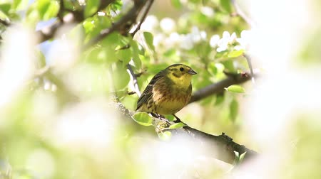ave canora : yellow bird among white flowers of a pear sings a spring song