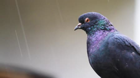 oturur : black dove with a metallic sheen on feathers sits in the rain